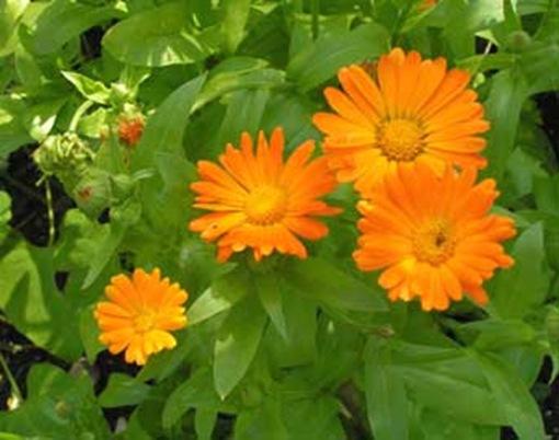 Para que se usan las plantas medicinales buena salud for Cuales son las plantas ornamentales y sus nombres