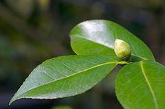 Batido diurético para perder peso de té verde y melón