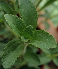 Cómo tomar el té de stevia en la diabetes