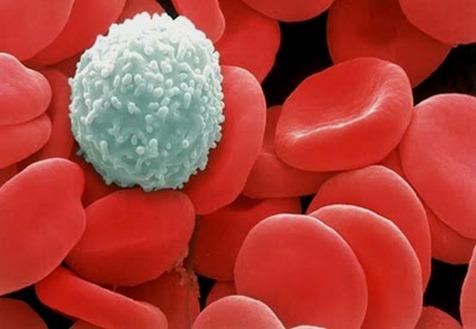 Globulos blancos y rojos| videos