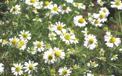 Plantas medicinales: Manzanilla