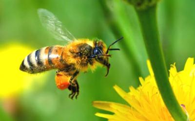 Propiedades del polen de abeja