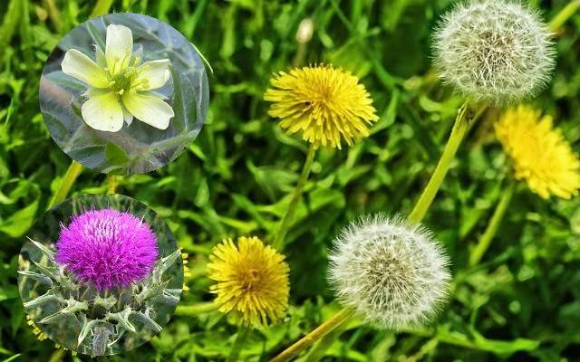 hierbas-medicinales-para-el-rinon