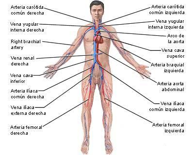 El sistema circulatorio : Funcionamiento