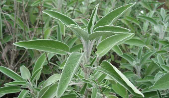 Salvia como planta medicinal buena salud for La salvia en la cocina