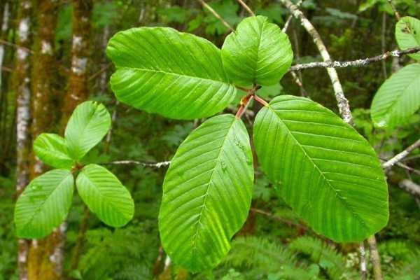 Plantas medicinales para limpiar el colon