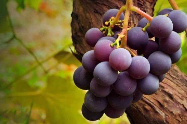 Jugo de uva propiedades