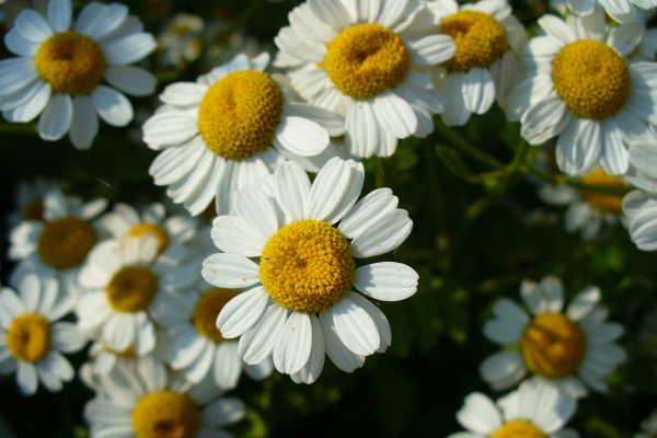 Como aliviar las migrañas con plantas medicinales