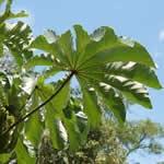 Ambay planta curativa