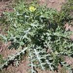 Cardo santo plantas curativas