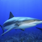 Cartílago de tiburón Contraindicaciones 2.jpg