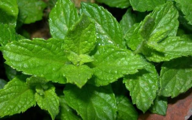los distintos tipos de hierbas estimulantes y venenosas  Buena Salud