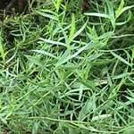 fotos planta medicinal Estragon