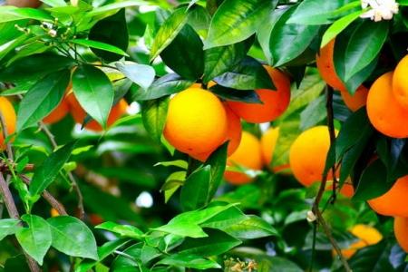 Propiedades de las mandarinas 2.jpg