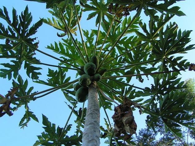 beneficios_hojas_papaya_salud2.jpg
