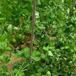 guisante planta medicinal