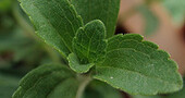 Planta de estevia: propiedades para diabéticos
